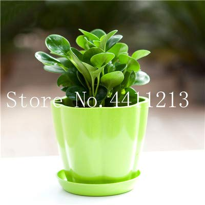 Fotcus Hot Sale 100 Pcs Peperomia Sandersii Plant Exotic Flower Bonsai Melon Leaves Bonsai Decoration Gift Home & Garden - (Color: 9): Garden & Outdoor