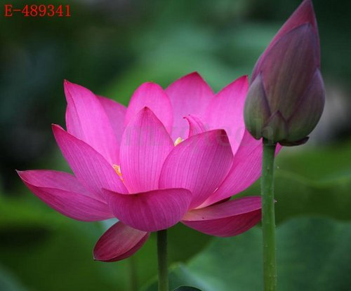 h-10pcs-lotus-bowl-water-lily-nelumbo-nymphaea-pond-plants-balcony-flower-seeds