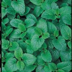 Herb Seeds - Lemon Balm - 1500 Seeds
