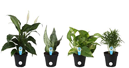 Costa Farms Clean Air - O2 for You Live House Plant Collection, 4-Pack, Includes Peace Lily, Snake Plant, Parlor Palm, Devil's Ivy, 4-Inch Grower Pot by Costa Farms