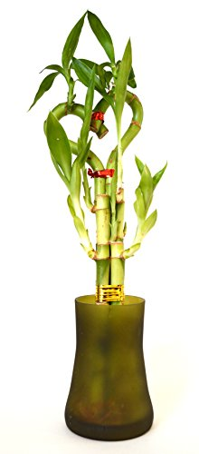 9GreenBox - Lucky Bamboo - Heart Style with Tall Glass Vase