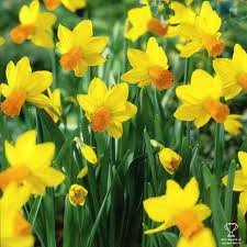 50 Daffodil Bulbs 'Jetfire' Rockery Narcissus/For Pots, Flower Beds, and Rockery, Buying Option 50 Bulbs/Spring Perennial Flowers/Cyclamineus Daffodil with Yellow Flowers/FREE UK P&P (50)