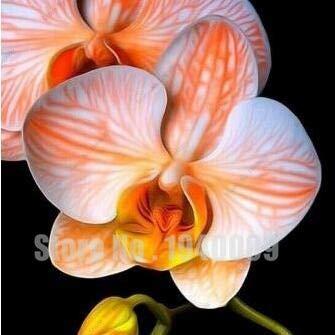 Neue Blumen-Bonsai für Blumen Hausgarten Phalaenopsisorchidee kaufen-direct-from-china orquidea Semente 30 PC-Orchidee-Plant-