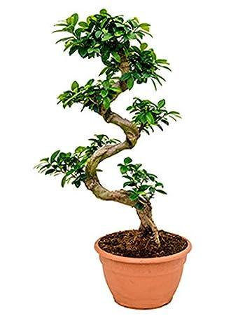 Ginseng Bonsai 60 75 Cm Im 27 Cm Topf Asiatische Zimmerpflanze Fur