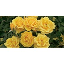 20+ YELLOW ROSE OF TEXAS ( BUSH ) Seeds
