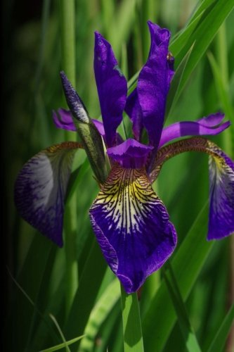 (Lavender Iris: 150 Pages Lined)