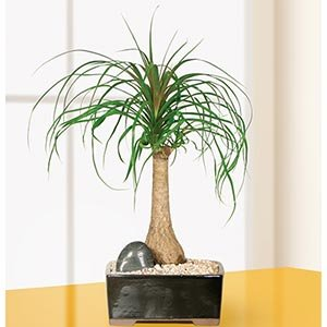 Ponytail Palm Bonsai Tree by Sheryl's shop