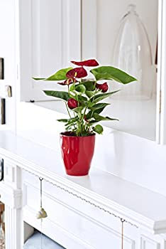 Hallmark Flowers Happy Hearts Anthurium In 5-inch Red Ceramic Container 4
