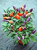 Ornamental Hot Little Elf Pepper 10 + seeds By Seeds and Things