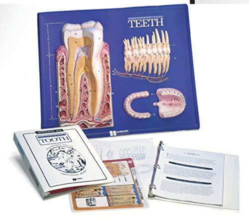 American Educational Teeth Model Activity Set by American Educational Products (Image #5)