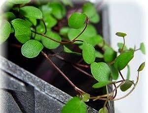 """Angel Vine - Muehlenbeckia - Houseplant/Terrarium/Fairy Garden - 4"""" Pot"""