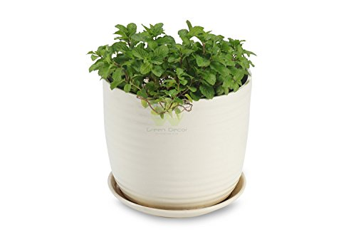 Mint - Very Fragrant & Toothed Leaves Plant By Green Decor