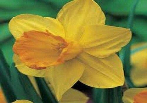 Daffodil, Fortune Daffodil, Stunning Blooms of Yellow Petals (Heirloom Garden Store)