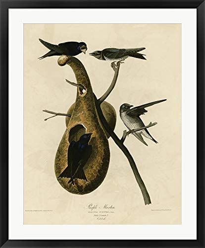 Martin Collection Picture Frames - Purple Martin by Vintage Apple Collection Framed Art Print Wall Picture, Black Frame, 30 x 37 inches