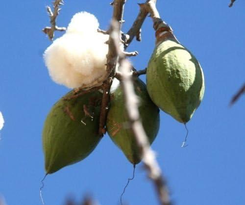 Amazon Com Ceiba Pentandra Kapok Tree Tropical Flowering Wood Cotton Bonsai Seed 10 Seeds Garden Outdoor