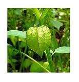 Fruits Seeds cutleaf Ground Cherry physalis angulata Organic 10 Seeds