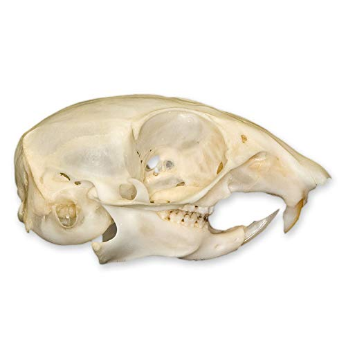 Ground Squirrel Skull (Natural Bone Quality A)