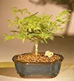 Bonsai Boy's Flowering Princess Earrings Bonsai Tree - Small dichrostachys cinerea