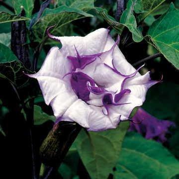 (Park Seed Ballerina Purple Angel's Trumpet Seeds)