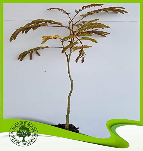 Albizia julibrissin rosea (Pink silk tree) - Plant ()
