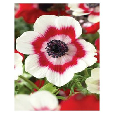 Amazon unique 9 different colors of oriental poppy seed unique 9 different colors of oriental poppy seed flowers potted bonsai garden courtyard terrace 200pcs mightylinksfo