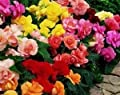 30+ Begonia Mix Flower Seeds / Drought Tolerant, Shade Loving Annual