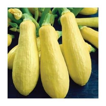 Amazon.com : Bush Baby Zucchini Summer Squash 15 seeds ...
