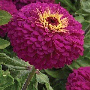 Uproar Rose Flower Zinnia Seed Pack