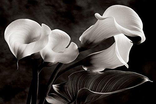 Calla Lily by Sondra Wampler 24