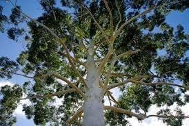 ROSE GUM Eucalyptus Grandis - 100+ SEEDS