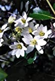 "Clematis Sweet Autumn Vine - Clematis paniculata - Fragrant - 2.5"" Pot"