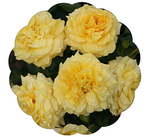 Tupelo Honey Rose Bush Reblooming Sunbelt Rose - Double Yellow Flowers - Heat Resistant Own Root Grown Organic Potted - Stargazer ()