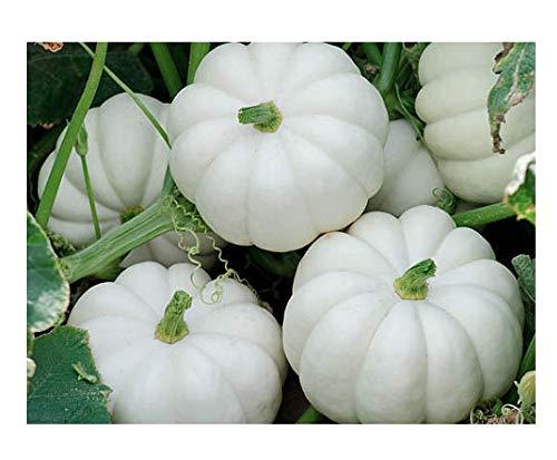 White Pumpkin Seeds - 20 Small White Pumpkin Casperita Seeds - Non GMO - Marde Ross & Company