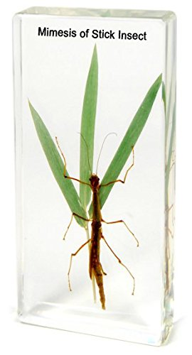 ciiizaoo Mimesis of Stick Insect embedded specimen paperweight in Resin In Clear Lucite Block