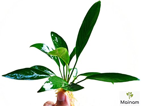Mainam Anubias Lanceolata Rooted Rhizome Long Leaves Live Aquarium Plants...