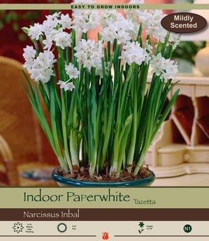 Daylily Plant - 9