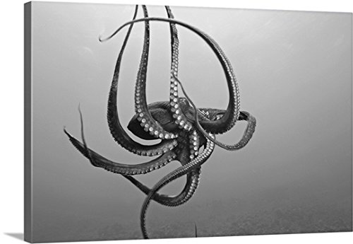 Dave Fleetham Premium Thick-Wrap Canvas Wall Art Print entitled Hawaii, Day Octopus (Octopus Cyanea) In Ocean Water by Canvas on Demand