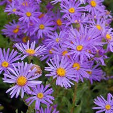 Rhizome Bulbe Plant Racine Aster Novii Fleur Vivace Amazon Fr