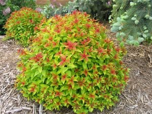 Magic Carpet Spirea, 3 GAL