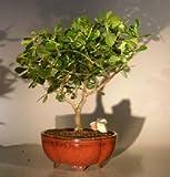 Bonsai Boy's Flowering Tropical Dwarf Apple Bonsai Tree Extra Large clusia rosea 'nana'