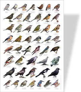 Garden Birds Educational Poster 48 European Garden Birds Amazon