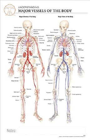 11 x 17 Post-It Anatomical Chart:MAJOR VESSELS OF THE BODY: Science ...