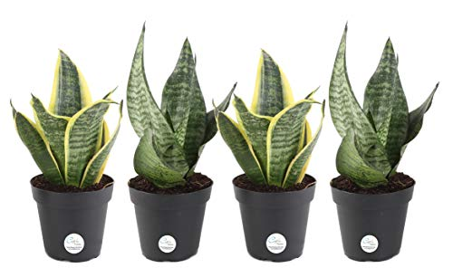 Costa Farms Snake Plant, Mother-In-Laws Tongue, Sansevieria, Easy to Grow, Ships in 4-Inch Grower Pot, 10-Inches Tall, 4-Pack, Fresh From Our Farm