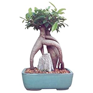 Bonsaiboy Ginseng Ficus Bonsai Tree – Medium Ficus Retusa