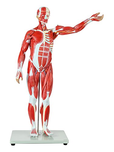 Axis Scientific Human Muscle Model | 27-Part Half Life-Size Muscular Figure Includes Organs and Features Detailed Muscle Anatomy | Includes Detailed Full Color Product Manual | 3 Year ()