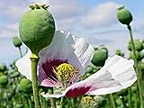 1 OUNCE AFGHANISTAN Papaver Somniferum Viable Opium Poppy Seeds Unwashed & Untreated!