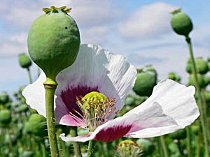 1 OUNCE AFGHANISTAN Papaver Somniferum Viable Opium Poppy Seeds Unwashed & Untreated! (Poppies)
