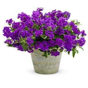 . Flower Seeds: Verbena Mix Perennial Herbaceous Flowering Plants Blue Flower Seed for Shade B- Everblooming Flowers (13 Packets) Garden Plant Seeds