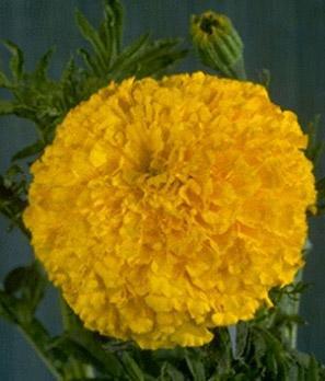 Marigold Crush Papaya 1,000 seeds