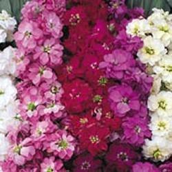 Stock Flower Seeds - Stock - Ten week Large Flowered Mixed - 500 Seeds